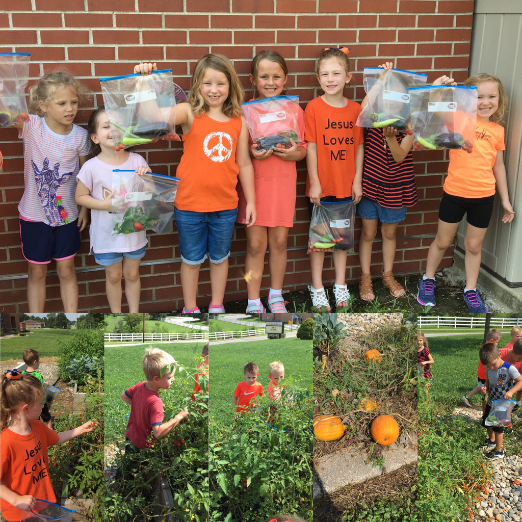 Kindergarten is enjoying picking vegetables from our school garden! They collected tomatoes, eggplant, peas, peppers, brussel sprouts, and pumpkins!